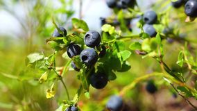 Natural blueberries on bush stock video footage