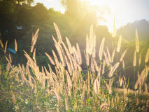 Natural blur and soft grasses Royalty Free Stock Photo