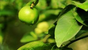 Natural blurred background of leaves with one organic lime citrus fruit hanging on the tree at household backyard garden. Harvest. Season concept of fresh green royalty free stock images