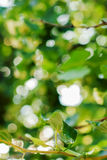 Natural Boke through Summer Foliage Stock Photography