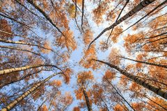 Natural bottom view of the crowns and tops of birch trees with bright yellow and orange leaves stretch to the blue. Natural background bottom view of the crowns royalty free stock image