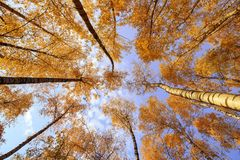 Natural bottom view of the crowns and tops of birch trees with bright yellow and orange leaves stretch to the blue. Natural background bottom view of the crowns royalty free stock images