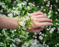 Natural bracelet White blooming spirea on arm Royalty Free Stock Images