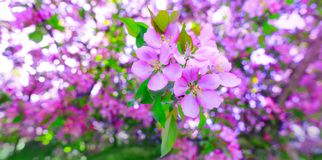 Natural branch of purple cherry blossom during spring season. Tree of apple blossoms in stunning sunny day. Beautiful pink flowers royalty free stock photography