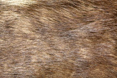 Natural brown fur texture Stock Photography