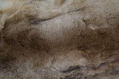 Natural brown fur texture background Stock Images