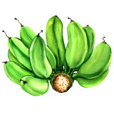Natural bunch of green raw cultivated bananas isolated, watercolor illustration Royalty Free Stock Photography