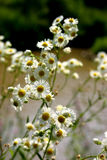 Natural camomile. In the real environment stock photos