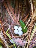 Natural cancept, Four white eggs of bird are in the nest, which royalty free stock image