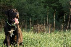 Natural Cane Corso Puppy sitting on grass royalty free stock image