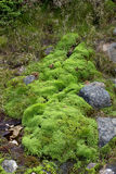 Natural carpet of green moss Royalty Free Stock Image