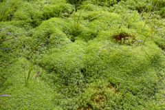 Natural carpet of green moss Royalty Free Stock Photography