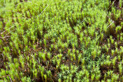 Natural carpet of green moss Royalty Free Stock Images