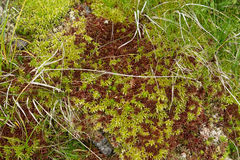 Natural carpet of green moss Royalty Free Stock Photos