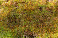 Natural carpet of moss Royalty Free Stock Photos
