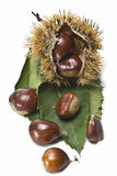 Natural chestnuts with leaves. One urchin with some chestnuts and leaves isolated on a white background Royalty Free Stock Photography