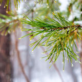 Natural Christmas fir branch with drops in winter forest, closeu Royalty Free Stock Photos