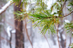 Natural Christmas fir branch with drops in winter forest, closeu. P Royalty Free Stock Photography