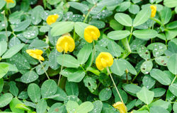 Natural close up of pinto peanut flower and water drops in garden. Yellow and green pinto peanut flower on the ground Stock Image