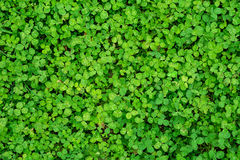 Natural clover background Stock Images