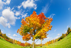 Natural color wheel maple tree at autumn. Young maple tree at autumn with all colors from green to yellow orange and red standing in the field Stock Images