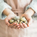 Natural colored quail eggs and feather in woman`s hands Royalty Free Stock Photography