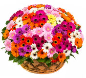 Natural colorful gerberas in a basket Stock Photography