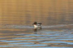 Colorful male common teal duck anas crecca swimming. Natural colorful male common teal duck anas crecca swimming Stock Images