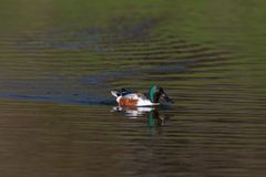 Colorful male northern shoveler duck anas clypeata swimming, m. Natural colorful male northern shoveler duck anas clypeata swimming, mirrored Royalty Free Stock Photography
