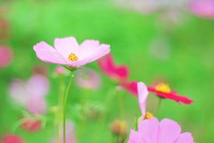 Natural colorful pink cosmos flowers with yellow pollen patterns blooming in garden with water drops for background. Close up royalty free stock photo