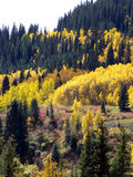 Natural Colors. Changing Aspen among the Pine trees in the high mountains stock images