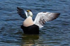 Common male eider duck somateria mollissima spread wings, blue Royalty Free Stock Photo