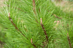 Natural conifer needles on a branch close-up. Without snow royalty free stock image
