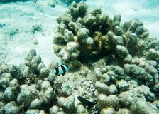 White-tailed Damselfish. Natural coral reef with white-tailed damselfish and other tropical fish in the underwater reef ecosystem off Yejele Beach in Tadine Royalty Free Stock Photo