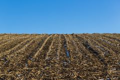 Natural corn field in winter, stubbles, blue sky, snow Royalty Free Stock Images