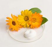 Natural cosmetics. The cream and herb image in a glass saucer Royalty Free Stock Photography
