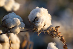 Natural cotton bolls ready for harvesting Royalty Free Stock Photography