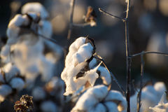 Natural cotton bolls ready for harvesting Stock Photo
