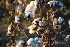 Natural cotton bolls ready for harvesting Stock Photos