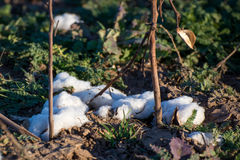 Natural cotton bolls ready for harvesting Royalty Free Stock Image
