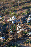 Natural cotton bolls ready for harvesting Stock Images