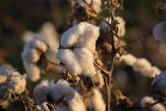 Natural cotton bolls ready for harvesting Royalty Free Stock Photos