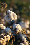 Natural cotton bolls ready for harvesting Royalty Free Stock Images