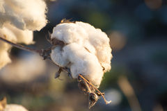 Natural cotton bolls ready for harvesting Stock Image