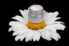 Natural cream daisies Stock Image
