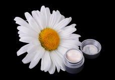 Natural cream daisies Stock Images
