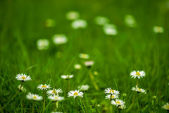 Natural daisy background Royalty Free Stock Photos