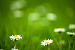 Natural daisy background Royalty Free Stock Image