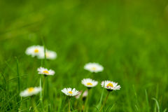 Natural daisy background Royalty Free Stock Photo
