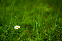 Natural daisy background Royalty Free Stock Photography